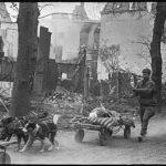 Германия, р-н Зееловых высот, апрель, 1945г.Вывоз раненых на собаках с поля боя.
