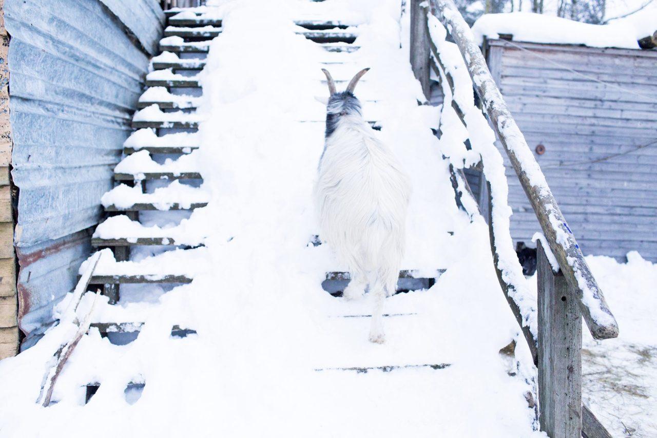 коза гуляет по территории хутора